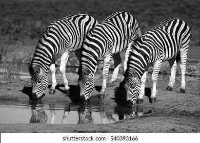 A herd / dazzle of Burchells zebra, in this beautiful landscape photo with golden morning light. Taken in Addo Elephant national park, eastern cape,south africa