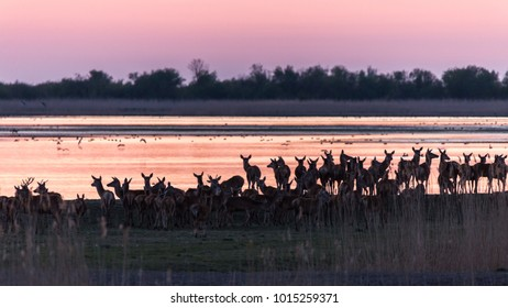 Herd of deer gathering during sunset at the lakeside in the nature reserve Oostvaardersplassen, Netherlands
