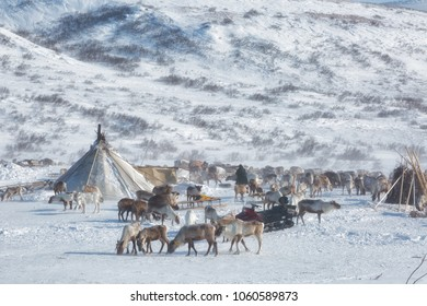 A herd of deer near a Nenets chums on a sunny winter day, Yamal, Russia