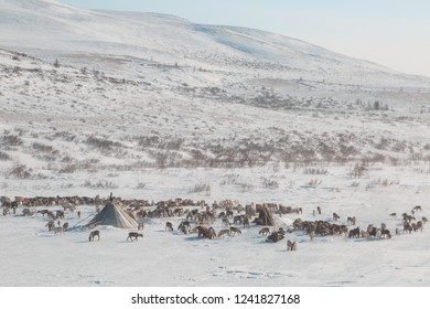 herd of deer near a Nenets chums on a winter day, Yamal, Russia.