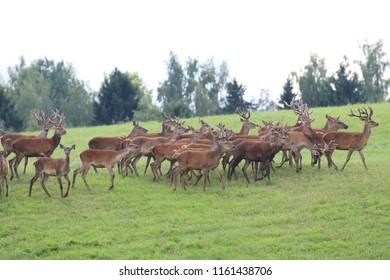 A herd of deer and roe deer in the pasture