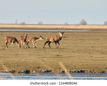 Herd of deer with stag, Oostvaardersplassen nature reserve, The Netherlands