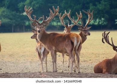 Herd Deer Stags with Antlers