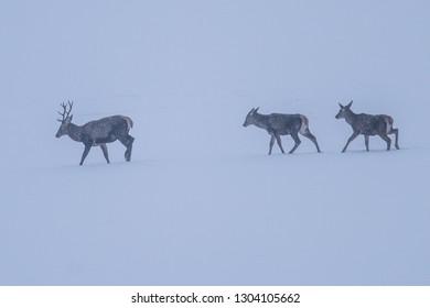 herd of deer in strong cold wind