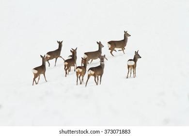 herd of deers on snow ( Capreolus capreolus )