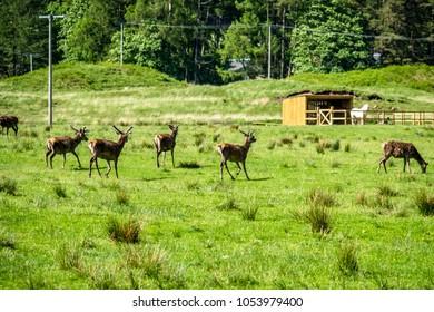 Herd of deers in the scottish highlands, UK
