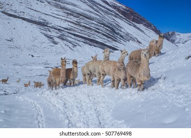 Herd of domestic alpacas on snow in high altitudes in peruvian Andes, south America