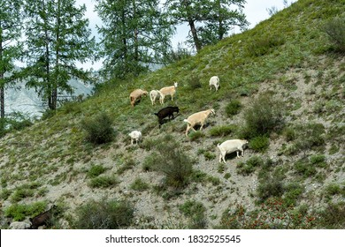 A herd of domestic goats grazing on the hillside in search of food.