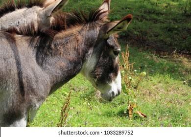 Herd of donkeys on breeding farm in Poland