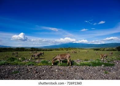 A herd of donkeys is plucking grass near roadside in Ngorongo, Africa