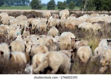 Herd of Drenthe heath sheep in Bargerveen, the Netherlands