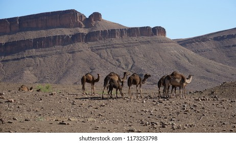 Herd of dromedary camels in the sahara desert at Nkob, Morocco