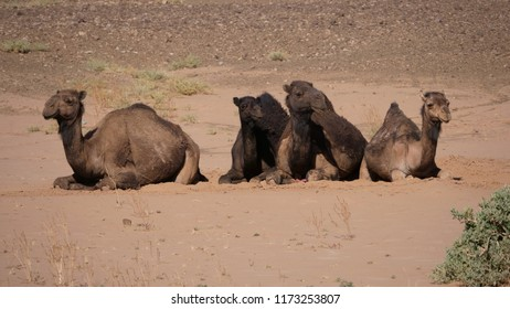 Herd of dromedary camels sitting in the sahara desert at Nkob, Morocco