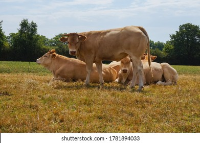Herd of either standing or lying cream-colored, young horned beef cattles belonging to the Blonde d'Aquitaine breed, in a meadow of the beautiful Occitan countryside of Tarn, in Southwestern France