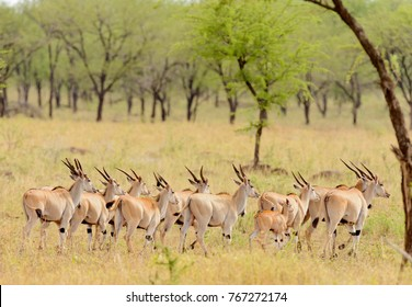 "herd of Eland (scientific name: Taurotragus oryx or ""Pofu"" in Swaheli) in the Serengeti National park, Tanzania"