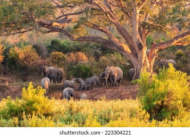 A herd of Elephant at the Kruger National Park in South Africa