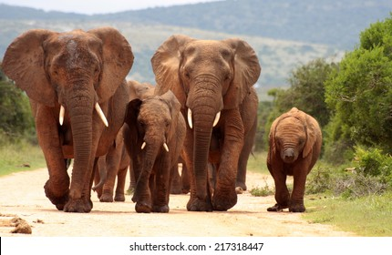 A herd of elephant on the move and walking towards the camera. South Africa
