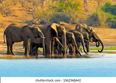 Herd of elephant in the river. Wildlife scene from nature. A herd of African elephants drinking at a waterhole lifting their trunks, Chobe National park, Botswana, Africa.