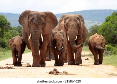 A herd of elephant walk towards the camera with all of them moving their trunks and smelling me. Taken in Addo Elephant National Park, South Africa