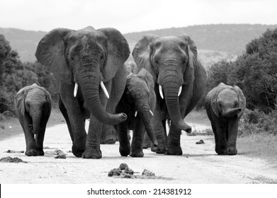 A herd of elephant walking towards the camera in this black and white image.