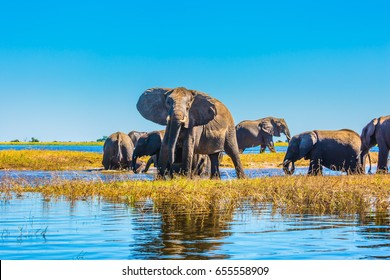 Herd of elephants adults and cubs crossing a river in shallow water. Watering in the Okavango Delta. The oldest national park in Botswana - Chobe National Park