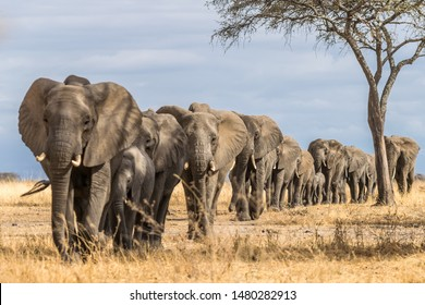 Herd of Elephants in Africa walking through the grass in Tarangire National Park, Tanzania