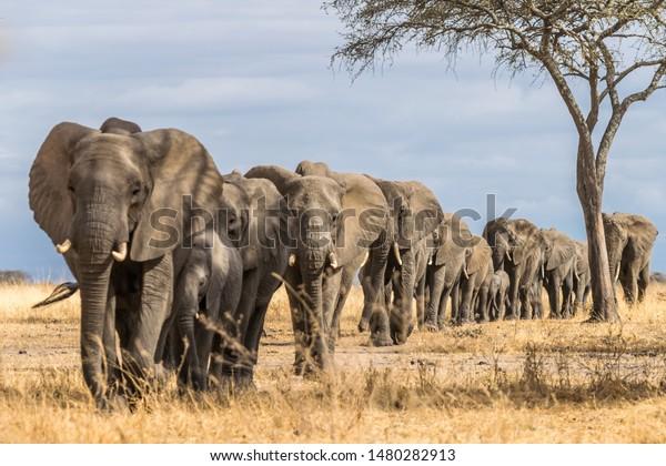 Herd of Elephants in Africa walking through the grass in Tarangire National Park, Tanzania