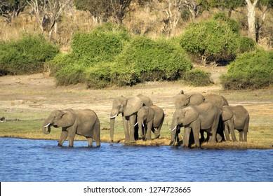 Herd of elephants crossing the Chobe River in Chobe National Park, Botswana