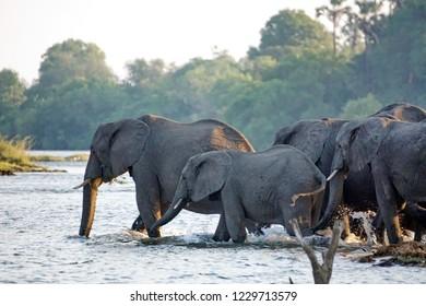 Herd of elephants crossing the Zambezi River near Victoria Falls, Zimbabwe