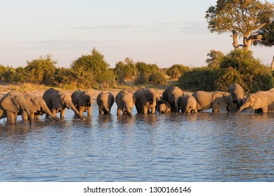 Herd of Elephants Drinking in the Cool of the Evening, Savuti, Botswana