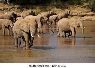 Herd of elephants drinking from Ewaso (Uaso) Nyiro River, Samburu Game Reserve, Kenya (note bull elephant with relaxed penis)