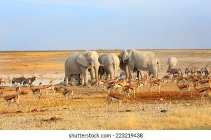 Herd of Elephants drinking from a waterhole in Etosha National Park