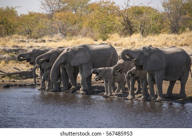 A herd of elephants drinking at a watering hole