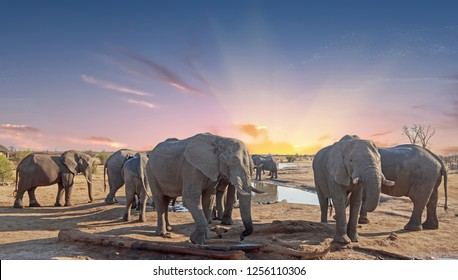 Herd of elephants group around a camp waterhole to take a drink, Hwange National Park. Zimbabwe.  There is a pink setting sun sky background