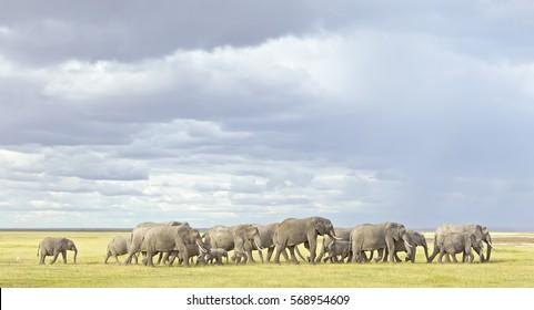 Herd of elephants  Kenya