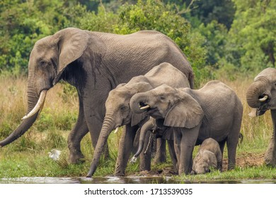 A herd of elephants ( Loxodonta Africana) drinking and a little one playing on the riverbank of the Nile, Murchison Falls National Park, Uganda.