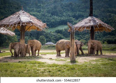Herd of elephants in the nature park in Chiang Mai