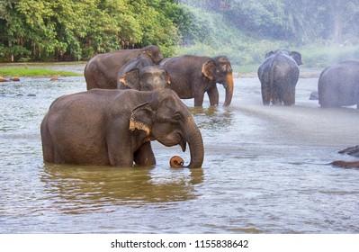 herd of elephants in the river