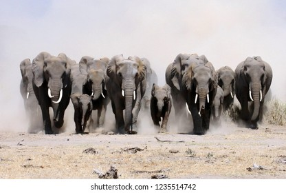 A herd of elephants runs to the camera