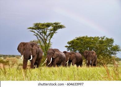 Herd of elephants at the savanna