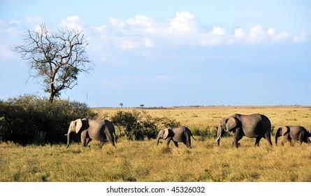 Herd of elephants in the savannah of Masai Mara, Kenya under a blue sky and clouds