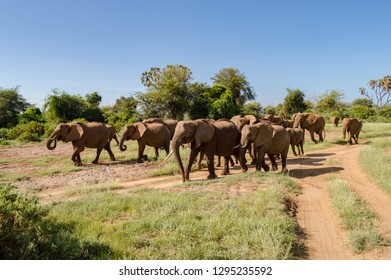 Herd elephants in the savannah of Samburu Park Herd elephants in the savannah of Samburu Park in central Kenya