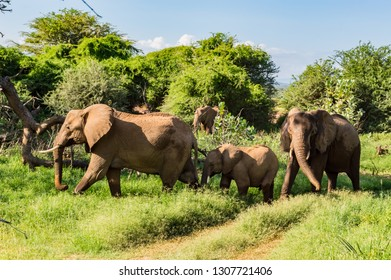 Herd elephants in the savannah of Samburu Park in central Kenya