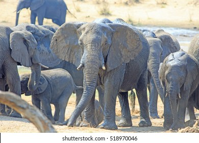 Herd of elephants standing near a waterhole, with one looking directly at camera through the dusty landscape in Hwange National Park, Zimbabwe, Southern Africa