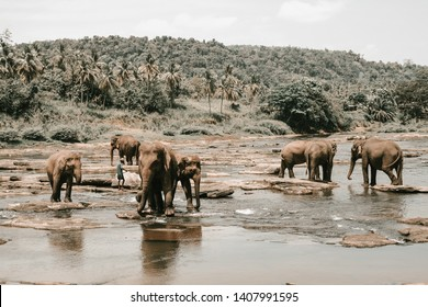 A herd of elephants swimming in the river. Stone bottom, jungle on the river Bank. Adults and little elephants take a bath and enjoy life. Tinted images in muted brown shades, Sepia.