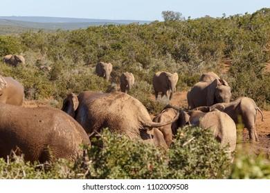 Herd of Elephants walking to the dam