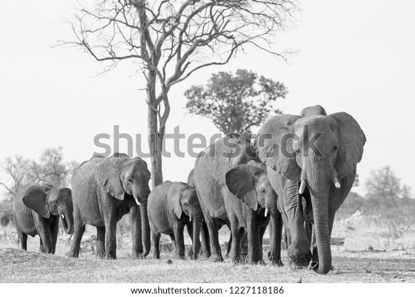 Herd of elephants walking forwards towards camera in Hwange National Park