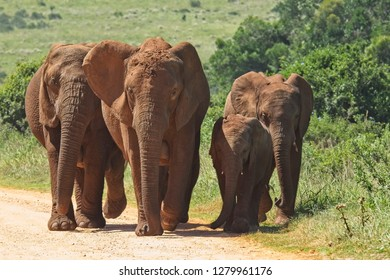 Herd of elephants walking onto on a gravel road from thick bush in a national park