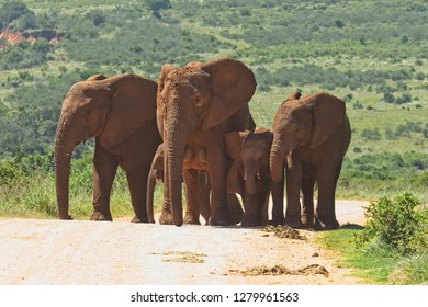 Herd of elephants walking up a small hill on a gravel road in a national patk