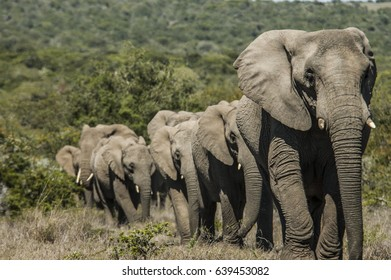 Herd of elephants walking in a straight line behind line another on safari in South Africa